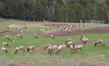 Elk Original