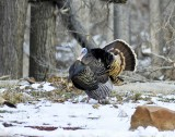 Wild Turkeys