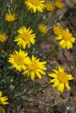 Erigeron chrysopsidis