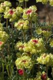 Eriogonum douglasii