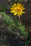 Balsamorhiza hookeri