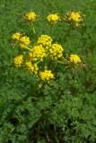 Lomatium leptocarpum