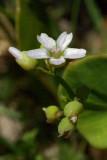 Claytonia perfoliata