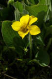 Viola praemorsa ssp. linguifolia