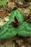 Trillium decumbens