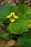 Viola pubescens Aiton var. pubescens