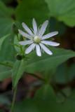 Stellaria pubera