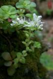 Sedum ternatum