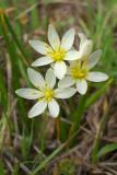 Nothoscordum bivalve