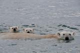 ours_polaire-polar_bear