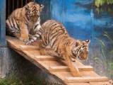New Amur Tiger Cubs 2011