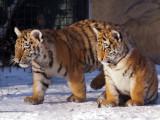 Amur Tiger Cubs in Snow