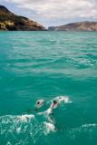 Dolphins at Akaroa