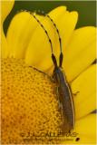 Agapanthia cardui-suturalis