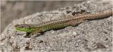 Lagartija serrana (Iberolacerta monticola)