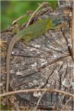 Lagarto verdinegro (Lacerta schreiberi)