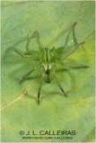 Micommata virescens