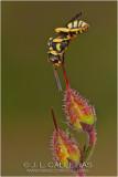 Bee nomada sp.