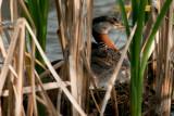 Red-necked Grebe on nest with chick, Chappel Marsh, Saskatchewan