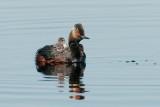 Eared Grebe with Chicks, Goose Lake, Saskatchewan