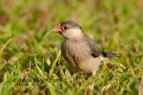 Java Sparrow, juvenile