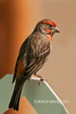 House Finch, another species that is turning up everywhere