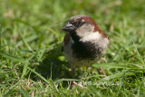 House Sparrow - yes they are everywhere