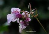 Himalayan Orchid