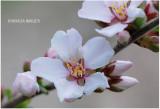 Nanking Cherry Blossom