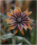Frosted Rudbeckia