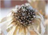 Snow Flakes on Seed Head