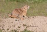 Prairie Dogs, Grasslands National Park