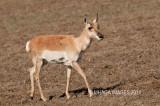 Pronghorn, calf