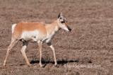 Pronghorn, female