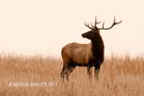 Elk near Elbow