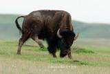 Bison in Grasslands Park
