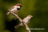 House Sparrow, pair