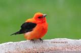 Tanager, Cardinal and Rose-breasted Grosbeak
