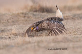 Sharp-tailed Grouse,Bradwell,  Saskatchewan