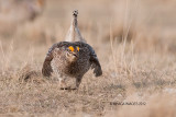 Sharp-tailed Grouse, Bradwelll, Saskatchewan