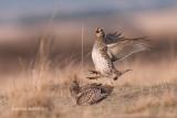 Sharp-tailed Grouse, Bradwell, Saskatchewan