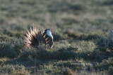 Greater Sage Grouse, Oregon