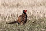 Ring-necked Pheasant, Malheur, Oregon