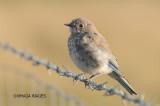 Mountain Bluebird, juvenile