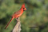 Northern Cardinal, male, Arizona