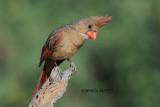 Northern Cardinal, female, Arizona
