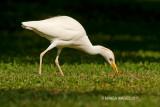 Cattle Egret, Ecuador