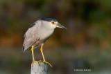 Black-crowned Night Heron, Brightwater Marsh, Saskatchewan
