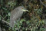 Black-crowned Night Heron, juvenile, Forestry Farm Park, Saskatoon