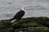 Bald Eagle, Victoria, British Columbia
